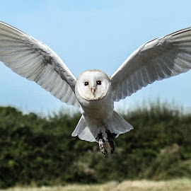 Narn owl angel by Garry Chisholm - Animals Birds ( bird, garry chisholm, nature, wildlife, prey, raptor )