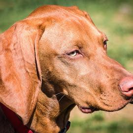 Hungarian Vizsla by Dave Lipchen - Animals - Dogs Portraits ( hungarian vizsla )