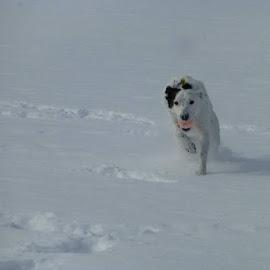 by Jennifer Minty - Animals - Dogs Running ( fetch, winter, sleddog, pet, snow, play, run, dog )