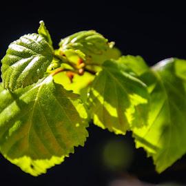 Birch  by Espen Rune Grimseid - Nature Up Close Leaves & Grasses ( canon, birch, macro, green, leaves, light )