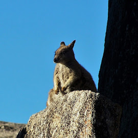 Wallaby by Sarah Harding - Novices Only Wildlife ( nature, novices only, wildlife, wallaby, animal )