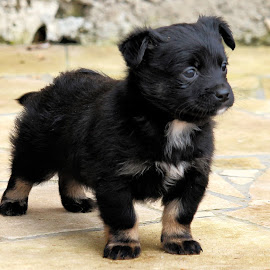 Blackie by Claudiu Petrisor - Animals - Dogs Puppies ( bark, little, puppy, attention, black )