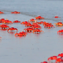 Red Crabs....... by Kausik Paul - Animals Sea Creatures