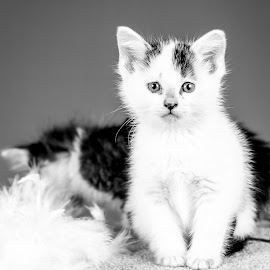 Snowball BW by Lawrence Burry - Animals - Cats Kittens ( cat, b&w, playful, black and white, furry, little, cute, pets, paw, fur, baby, feline, kitty, photo by: l. burry, animal, kitten, animals, beautiful, white, funny, fun, young, tail, domestic, portrait, mammal, pet, grain, whisker, adorable, small )