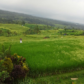 Field by Shane Cassidy - Landscapes Prairies, Meadows & Fields ( field, balinese, bali, farm land, rice field, rice, indonesia, paddy, asia, rice paddy )