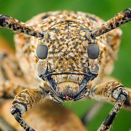 Face of Longhorn Beetle by Tan Tc - Animals Insects & Spiders ( nature, macro photography, pest, insects, close up )