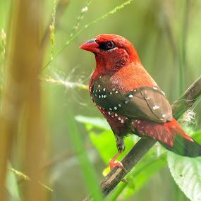 Red avadavat by Maroof Rana - Animals Birds ( bird, nature, munia, red avadavat, wildlife, closeup )