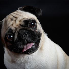Timbits by Jen St. Louis - Animals - Dogs Portraits ( pug, portrait, dog,  )