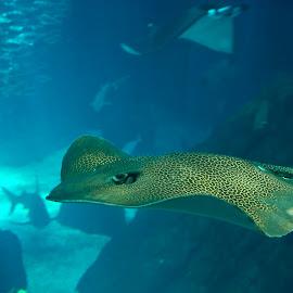 Oceanarium Lisbon by Paula NoGuerra - Animals Fish ( streak, fish, ocean, animal )