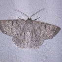Red-lined Geometrid Moth