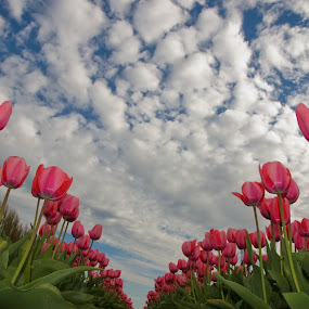 Reach for the Sky by Kirsten Morse - Nature Up Close Flowers - 2011-2013 ( clouds, sky, pink, tulips, flowers )
