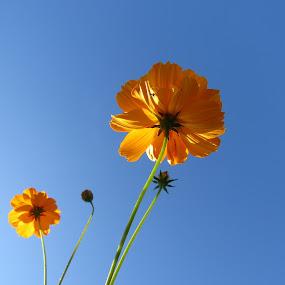 cosmos  by Geraldine Angove - Flowers Flower Gardens ( flower )