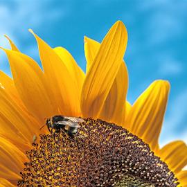 Bumblebee & Sunflower! by Jesus Giraldo - Flowers Single Flower ( concept, macro, sky, nature, heaven, colors, art, bumblebee, sunflower, beauty, flower,  )