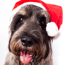 Leo's Christmas hat by Susan Pretorius - Animals - Dogs Portraits