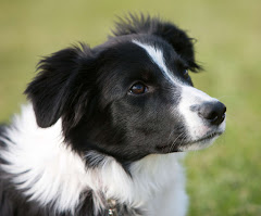 a border collie looking at his owner