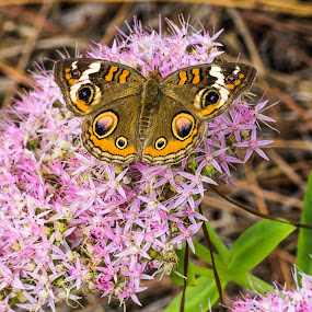 Buckeye Butterfly by Ed Stines - Animals Insects & Spiders ( flying, butterfly, beautiful, flowers, insect, buckeye butterfly )