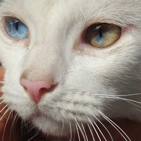 by Liz Rosas - Animals - Cats Portraits ( two colored eyes, blind, blue eye yellow eye, deaf, white cat )