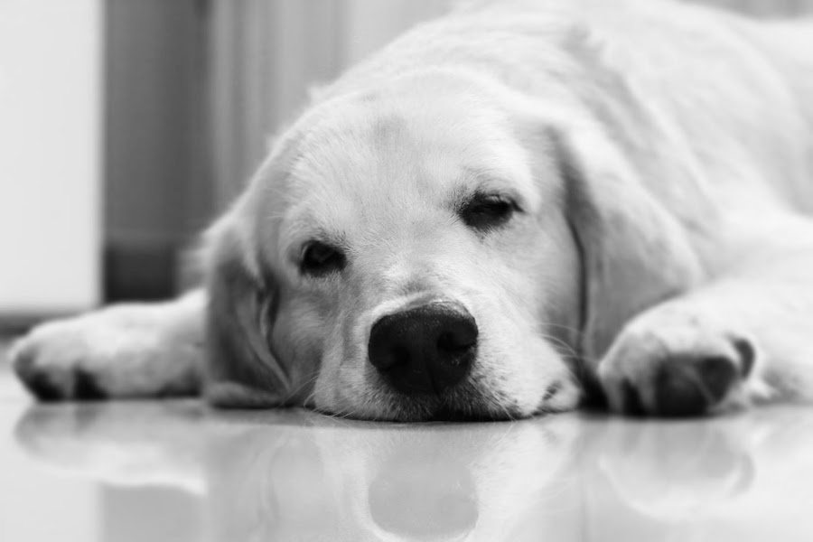 Sparky by Joshua Nathaniel - Animals - Dogs Portraits ( canine, black and white, pet, dog, golden retriever )
