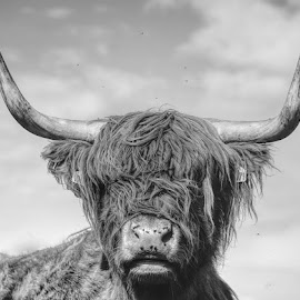 HIghland by Nigel Bishton - Animals Other Mammals ( highland, black and white, bossy, cow, flies )