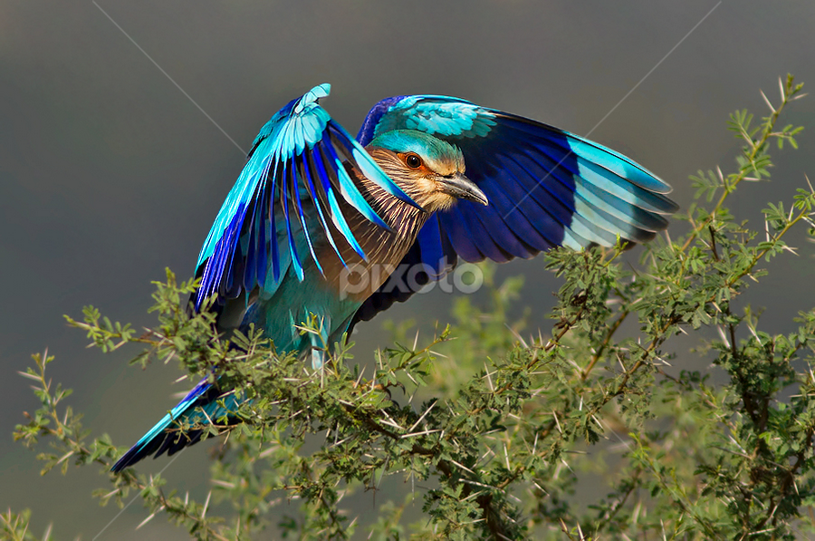 INDIAN ROLLER by Subramanniyan Mani - Animals Birds