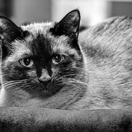 Si'am  by Patricia Konyha - Animals - Cats Portraits