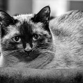 Si'am  by Patricia Konyha - Animals - Cats Portraits (  )