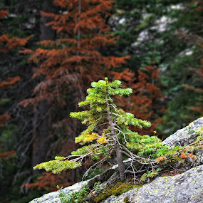 Little Tree by Katie McKinney - Nature Up Close Trees & Bushes ( national park, co, tree, nature, pine tree, colorado, little, forest, boulder, rocky mountain national park, woods, hike,  )