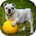 Download Bulldog Wallpaper APK for Laptop