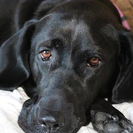 Resting Zoey  by Rob Blanchette - Animals - Dogs Portraits ( dane, mans best friend, amateur, lazy, dog )