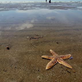 The starfish by Claudia Romeo - Animals Sea Creatures ( uk, starfish, sea, beach )