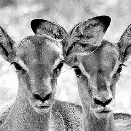 by Fanie van Vuuren - Black & White Animals (  )