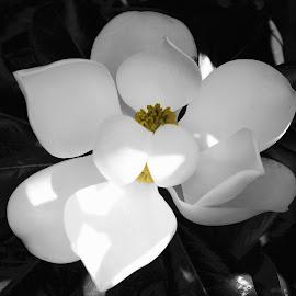Magnolia Blossom by Debra Branigan - Digital Art Things ( nature, digital art, things, magnolia blossom, photography,  )