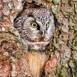 Boreal owl in the nest by Gérard CHATENET - Animals Birds