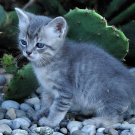 Baby cat. by Lorraine Bettex - Animals - Cats Kittens
