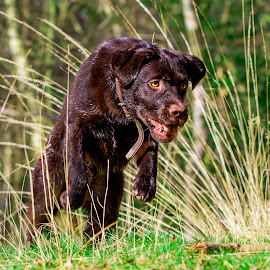 Jumping Labrador by Jenny Trigg - Animals - Dogs Running ( labrador retriever, dog jumping, dog photography, dog, labrador )