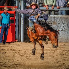 Open Bareback Bronc by Brent McKee - Animals Horses ( fuji x, qld, bucking bronc, mareeba, horse, rodeo, bronc riding, bay horse, bareback )