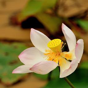 Lotus by Tomasz Budziak - Flowers Single Flower ( lotus, close up, lotus flower,  )