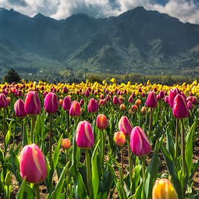 Tulips in Kashmir by Ajay Sood - Nature Up Close Gardens & Produce ( pwcflowergarden, colourful, ajay, sood, kashmir, travelure, tulips, travel, flowers, colours )