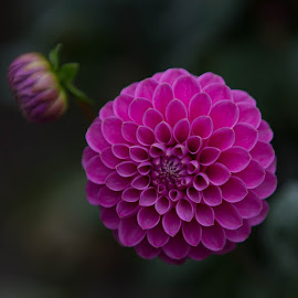 Pink by Janet Marsh - Flowers Single Flower ( dahlia, purple )
