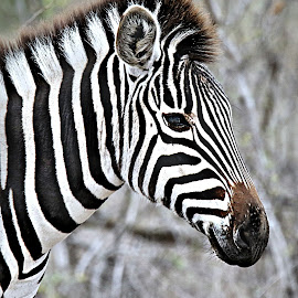 Filly close-up by Pieter J de Villiers - Animals Other ( mammals, animals, other, kruger national park, zebra filly, south africa, zebra, africa, close up )