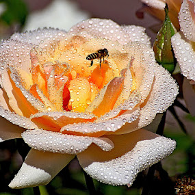AUTUMN DEW by Muhammad Amin Zia - Nature Up Close Flowers - 2011-2013