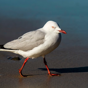 Seagull by Joseph Callaghan - Animals Birds ( seagull, beady eye, beach, birds, eye )