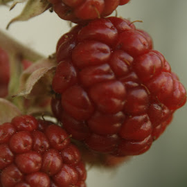 Almost Ready by Aubrey Dorrough - Nature Up Close Gardens & Produce ( up close, fruit, red, blackberries, garden, produce )