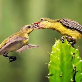 Olive-backed Sunbird by MazLoy Husada - Animals Birds