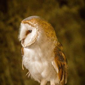 Barn Owl by Andrew Moore - Animals Birds