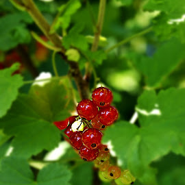 red currants by Alka Smile - Nature Up Close Gardens & Produce