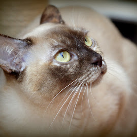 Tilly by Caroline Beaumont - Animals - Cats Portraits ( tortie burmese cat )