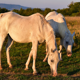 Gazing At Sunrise by Marco Bertamé - Animals Horses ( two, four legs, gazing, horse, white, sunrise )