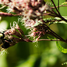 Bumble and JoePyeWeed by Glenda Clausen - Nature Up Close Other plants ( nature, bee, green, pink, blossom )