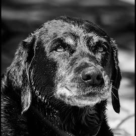 Black Lab by Dave Lipchen - Black & White Animals ( black lab )